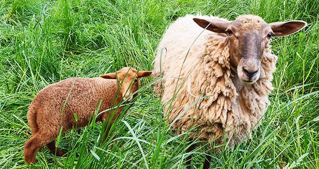 Schafe in Lauchhau-Lauchäcker - Stuttgart-Vaihingen. Treffpunkt-Leben Lauchhau-Lauchäcker leiht Schafherde für die Menschen im Stadtgebiet.